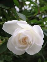 Le retour des roses