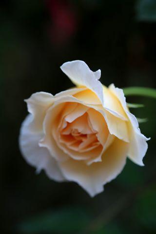 Roseraie - Août (3/4)