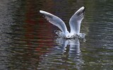 Mouette rieuse - p285
