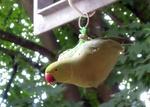 Papagei am Meisenknödel