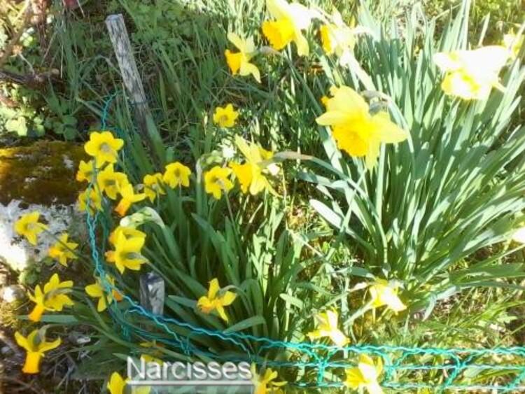 printemps 2015 zoom dans mon jardin,Camèlia,Narcisses,Aubrièta,Cornuta