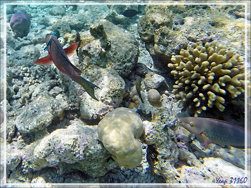Snorkeling : comparaison entre la bouche d'un Perroquet jaune (Hipposcarus harid) et celle des autres perroquets, ici un perroquet rouillé (Scarus ferrugineus) - Ari - Maldives