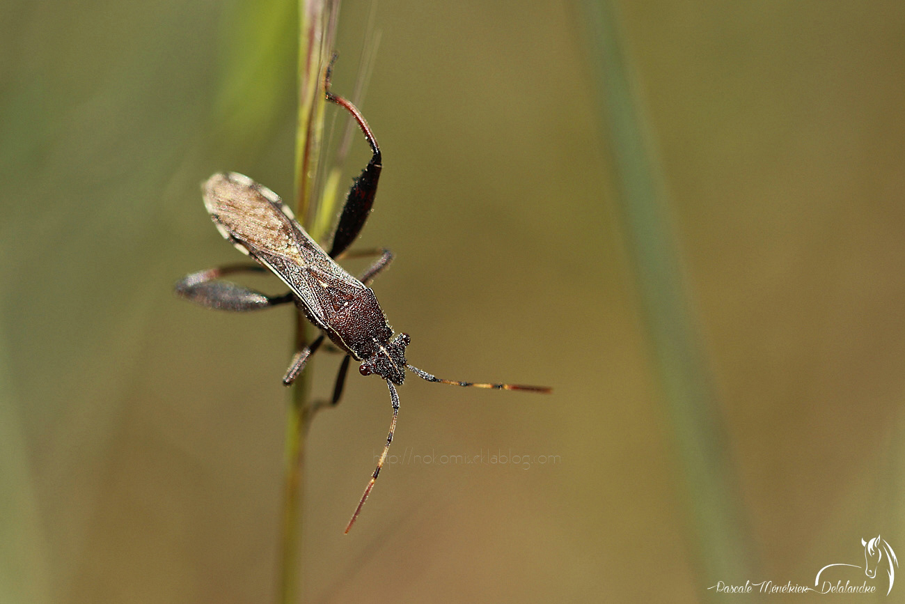 Punaise aux pieds courbés - Camptotus lateralis (famille alydidae)