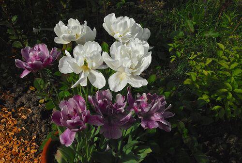 Tulipes 2014
