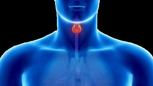 La thyroïde est à la base du VERBE