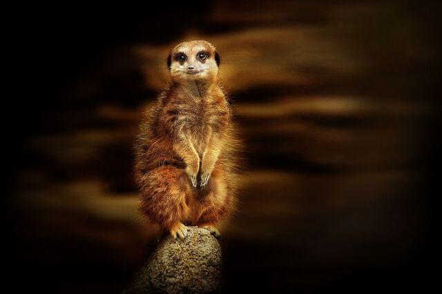 Pelage couleur sable du suricate