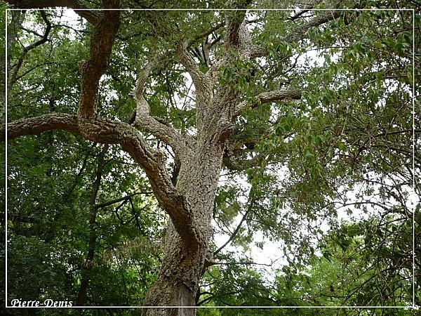 Chêne liège11