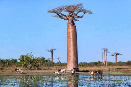 Images Baobab | Vecteurs, photos et PSD gratuits