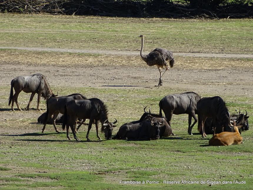 Réserve Africaine de Sigean dans l'Aude -1- gnou à queue noire