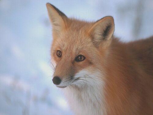 Un renard avec son joli regard