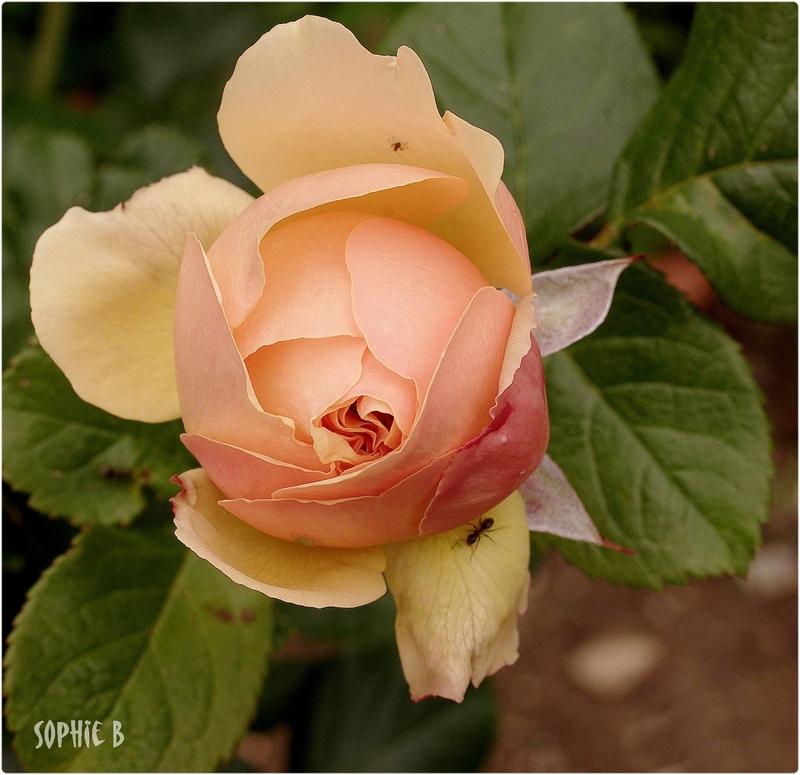 Pourquoi ne pas broyer du rose ?