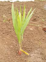 jubaea chilensis n°1