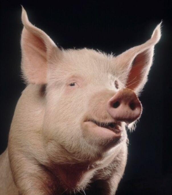 """Résultat de recherche d'images pour """"cochon humain"""""""