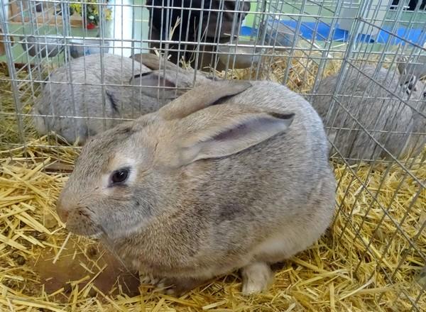 Le salon avicole 2016 de Châtillon sur Seine nous a présenté de superbes lapins...