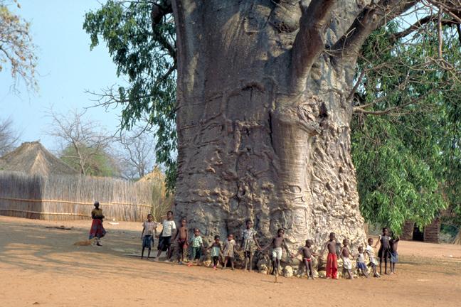 Baobab avec enfants