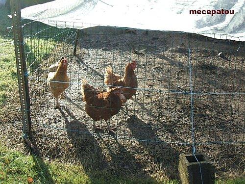 poule2