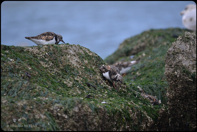 Trouville-sur-Mer, Deauville : Oiseaux marins