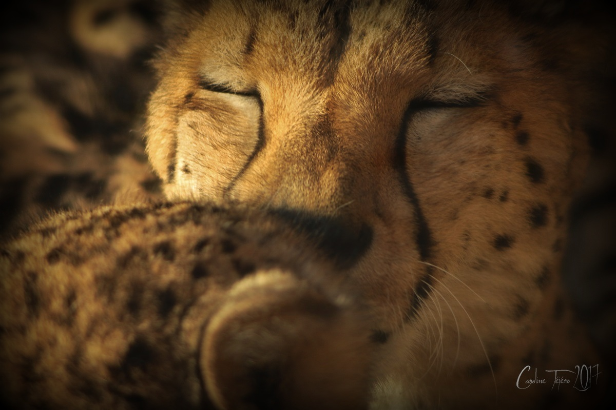 Tendre guépard