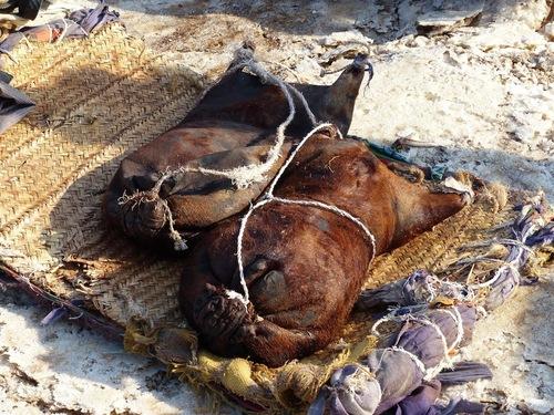 les dromadaires se reposent avant le chargement