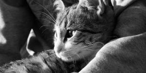 La maladie de Carré chez les chats