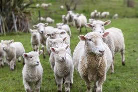 """Résultat de recherche d'images pour """"colis viande agneau"""""""