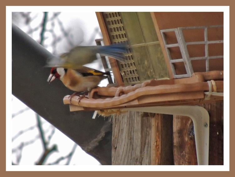 Oiseaux de nos jardins.Mésanges bleues,pinsons,mésanges charbonnieres.Images gratuites.