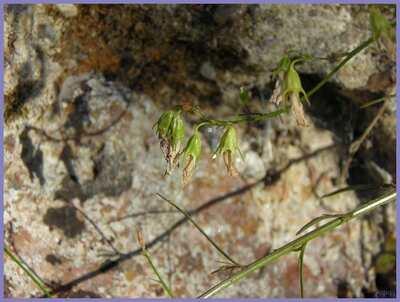 Campanule à feuilles rondes