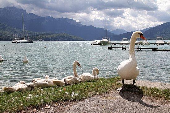 Famille de cygnes sur le bord du lac d'Annecy