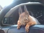 Un soldat a trouvé pendant son service militaire, un petit écureuil presque mourant. 6 février.