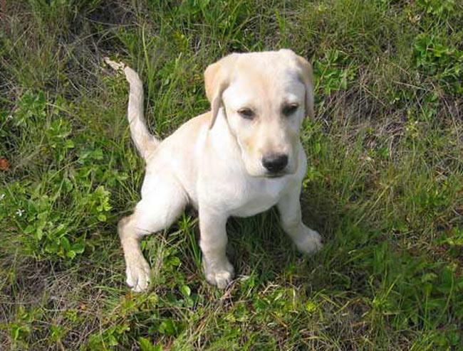 Races de chiens:  Labrador