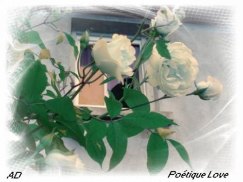 Rose-blanche-AD-1.JPG