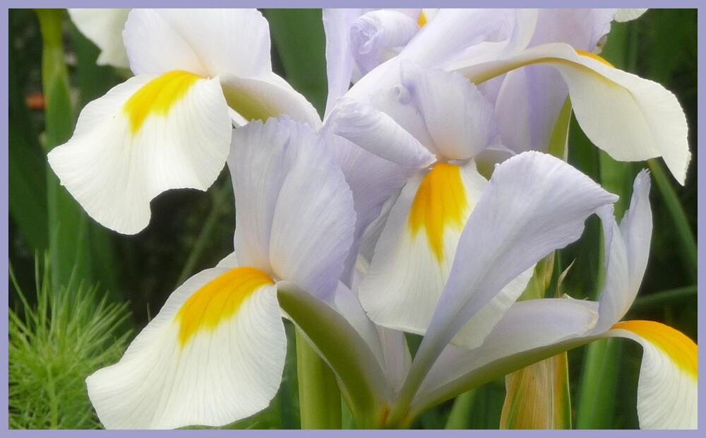 fleurs de mai :