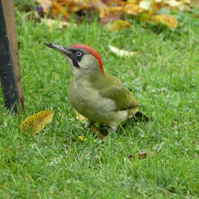 Piaf à bec : Picus viridis vs Alcedo atthis...