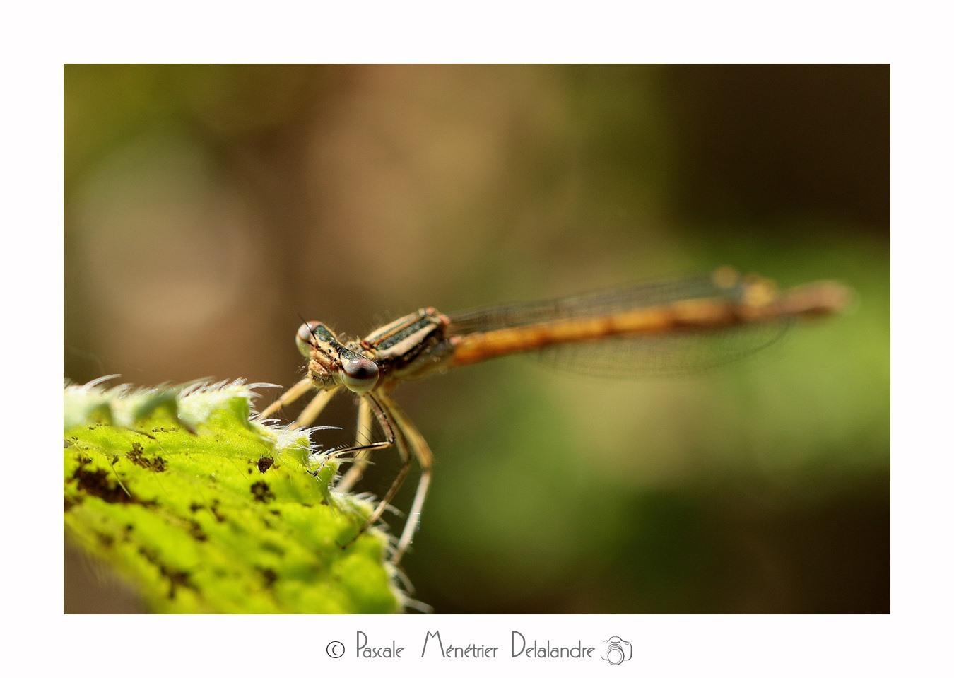 Pennipatte orangé ♀ (Platycnemis acutipennis)