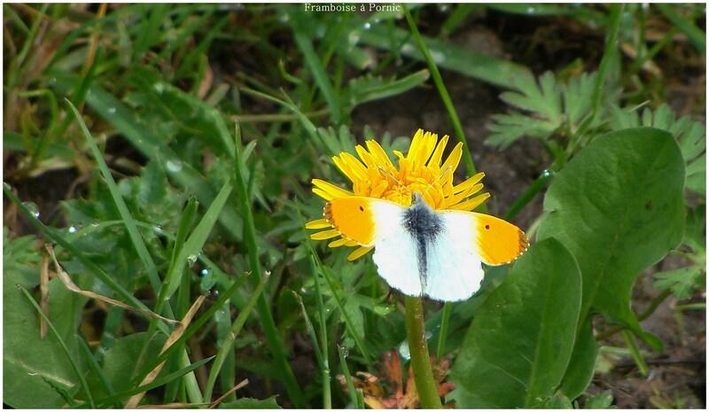 Papillons Aurore