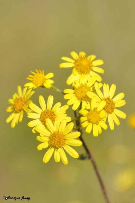 DSC0143-fleurs-jaunes