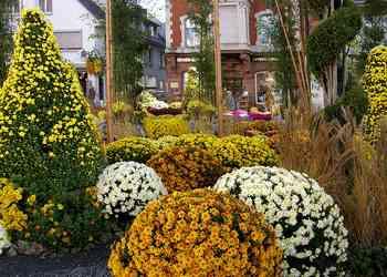 Origine et symbole du chrysanthème, fleur de saison !