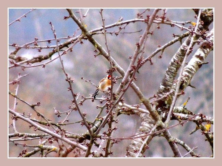 Oiseaux de nos jardins.Images gratuites.Chardonneret,Verdier d'Europe.