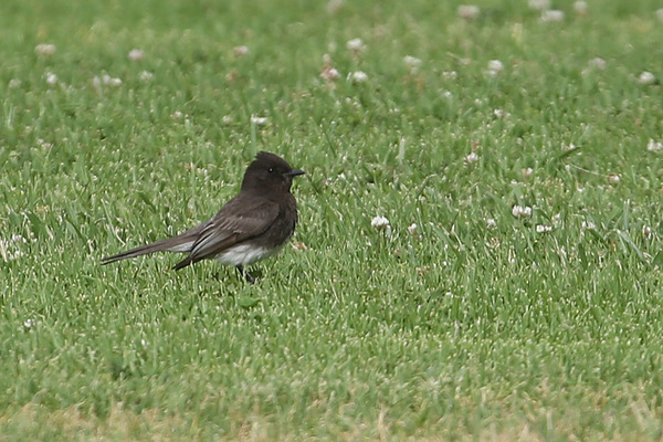 Black Phoebe - Colorado Lagoon Park