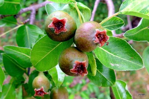 Les fruits : des poires (2)