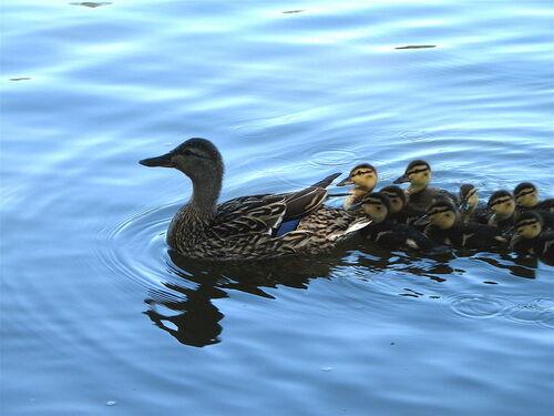 La famille canard