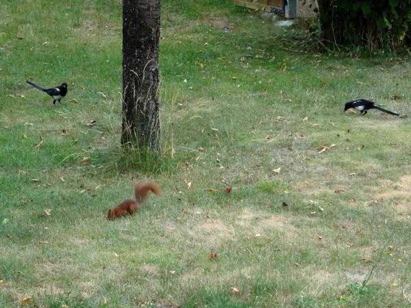 Un écureuil, adorable visiteur de mon jardin....