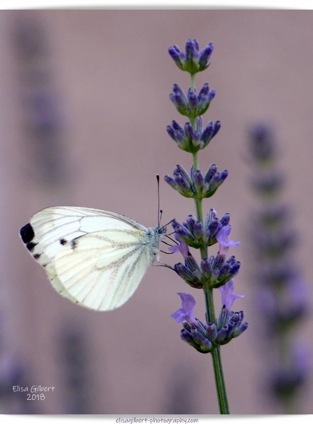 Papillons Sur Lavande Petits Bonheurs