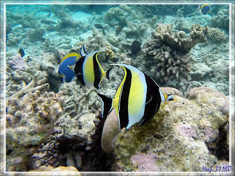 Snorkeling : Idole des Maures, Pavillon cocher, Zancle cornu,Tranchoir cornu, Moorish Idol (Zanclus cornutus) - Moofushi - Atoll d'Ari - Maldives