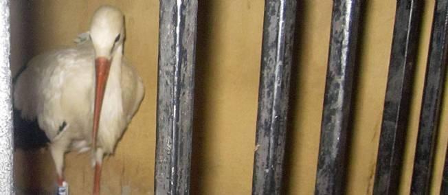 Egypte : Un canard arrêté pour espionnage