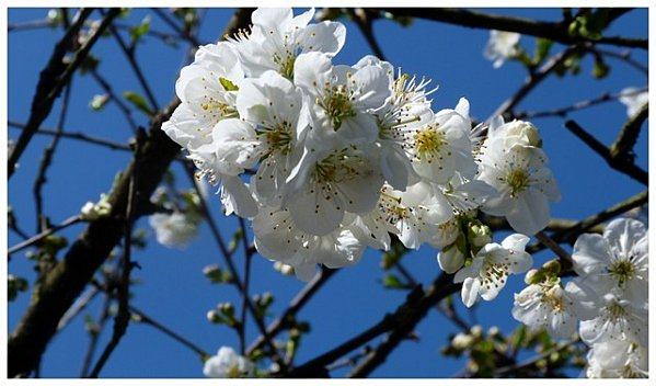fleur-blanche2.jpg