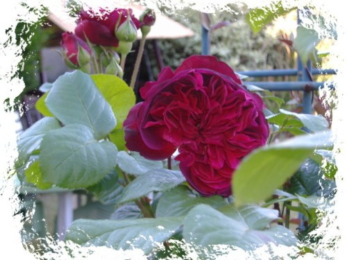rose et parfum