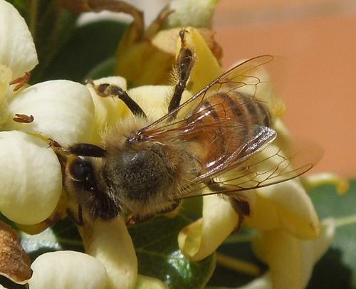 Encore une abeille