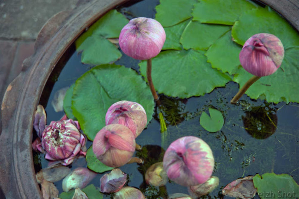 Bangkok des fleurs de lotus dans une jarre