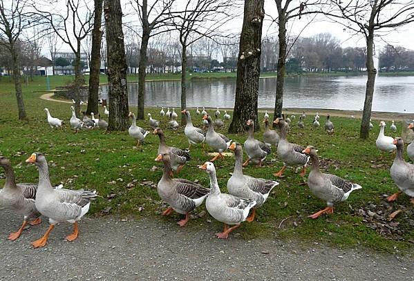 Oies---Parc-paysager--2-12-12-P1310966.JPG